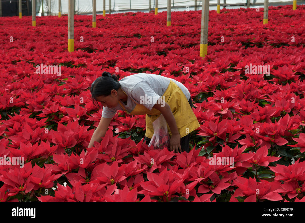 guatemalan woman working in christmas poinsettia garden san