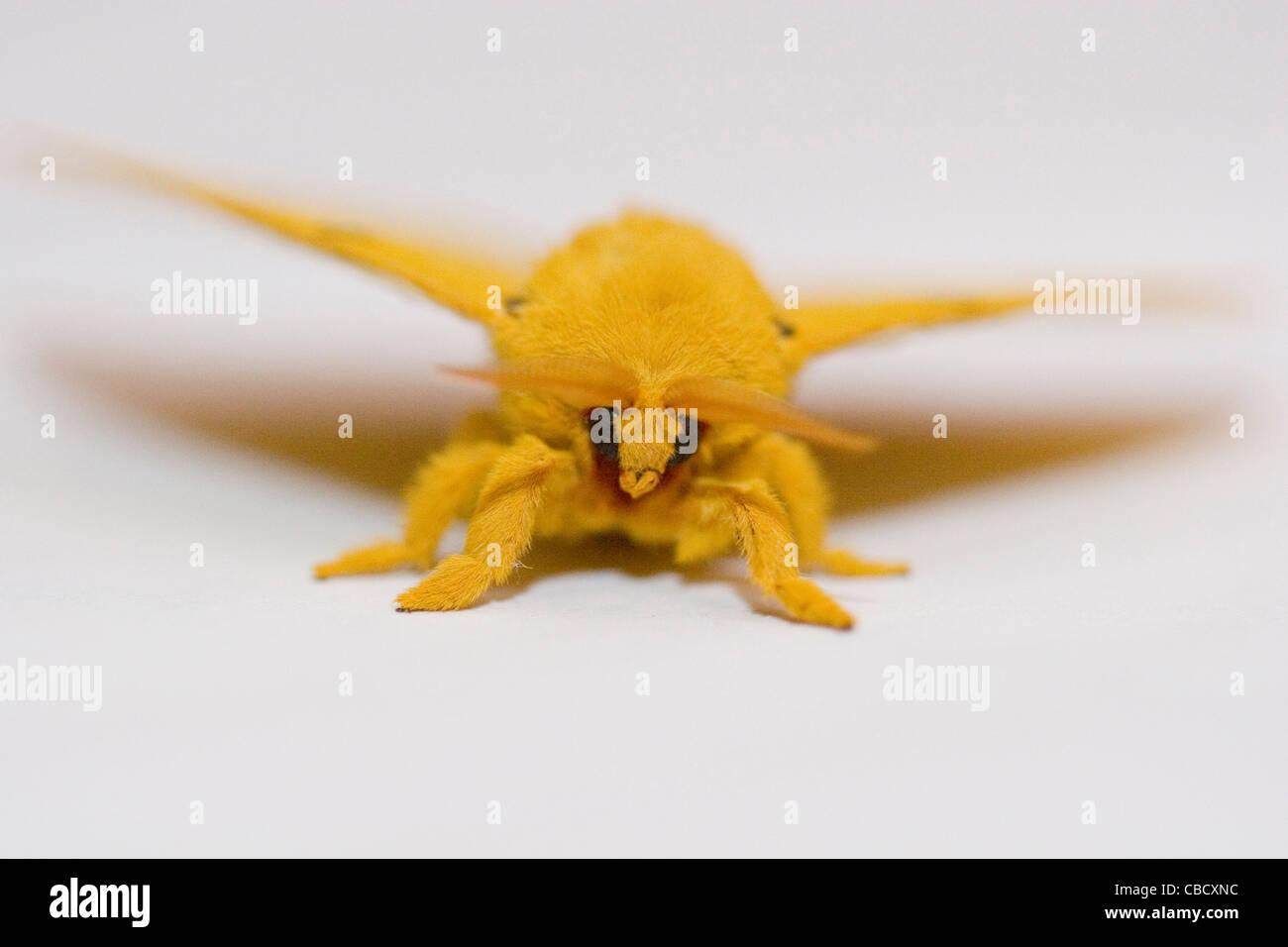Fuzzy Black Background : Automeris io male moth yellow fuzzy on white
