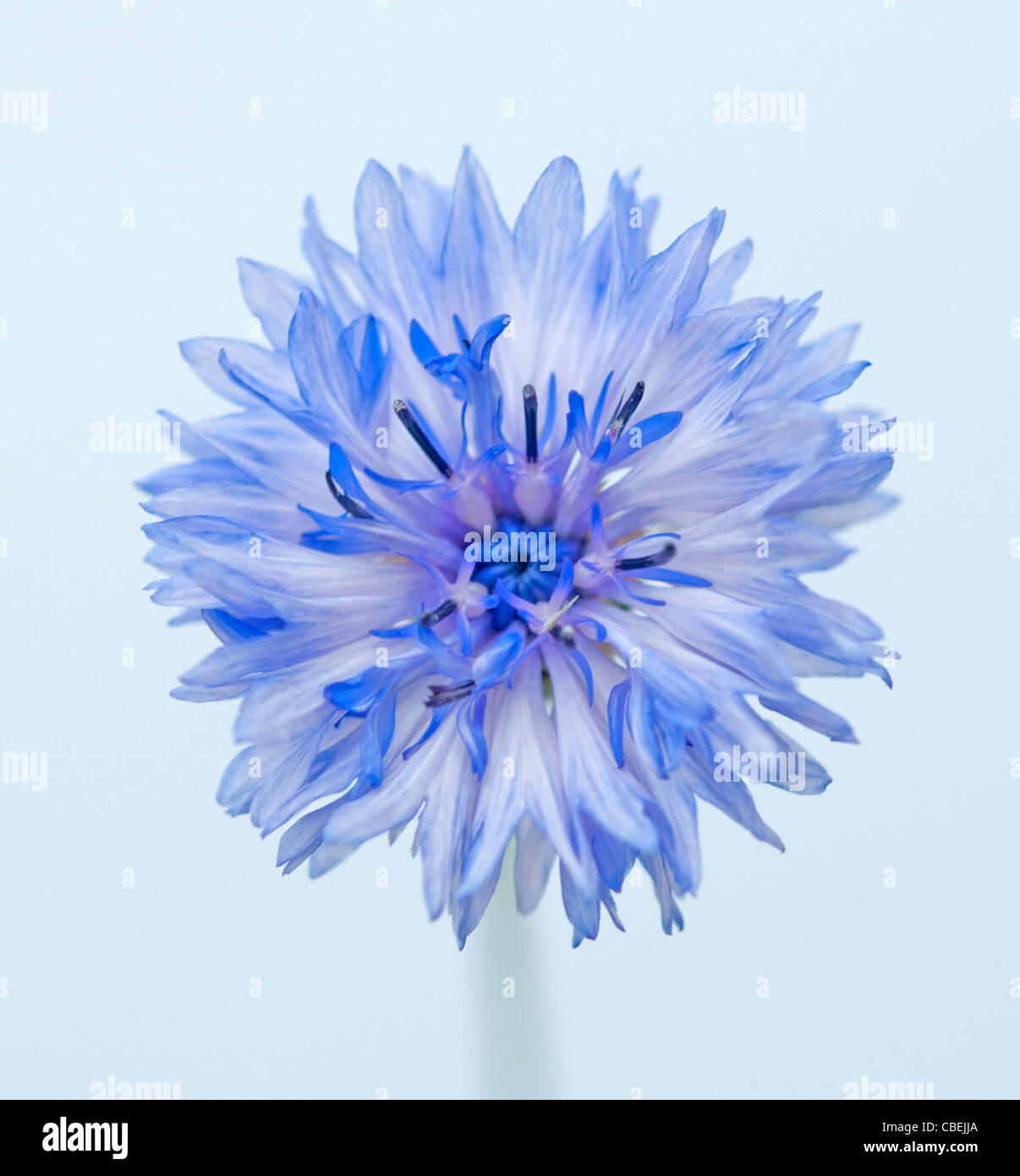 Centaurea Cyanus Cornflower Blue Flower Subject Blue Background Stock Photo Royalty Free