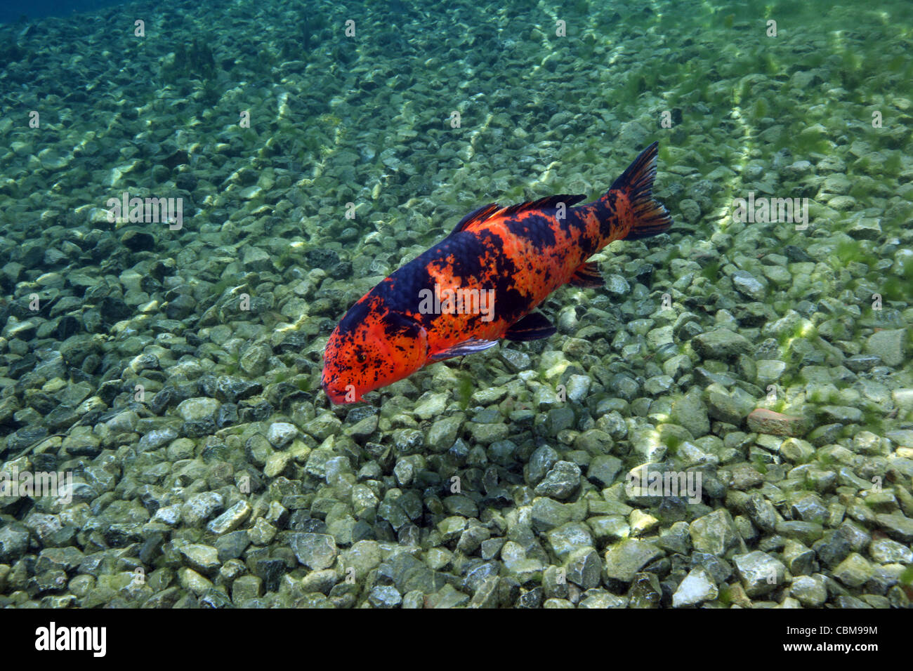 Freshwater fish koi - A Hi Utsuri Koi Fish Swims Over The Rocky Bottom Of The Clear Freshwater Of Vortex Spring Shoreline In Ponce De Leon Florida