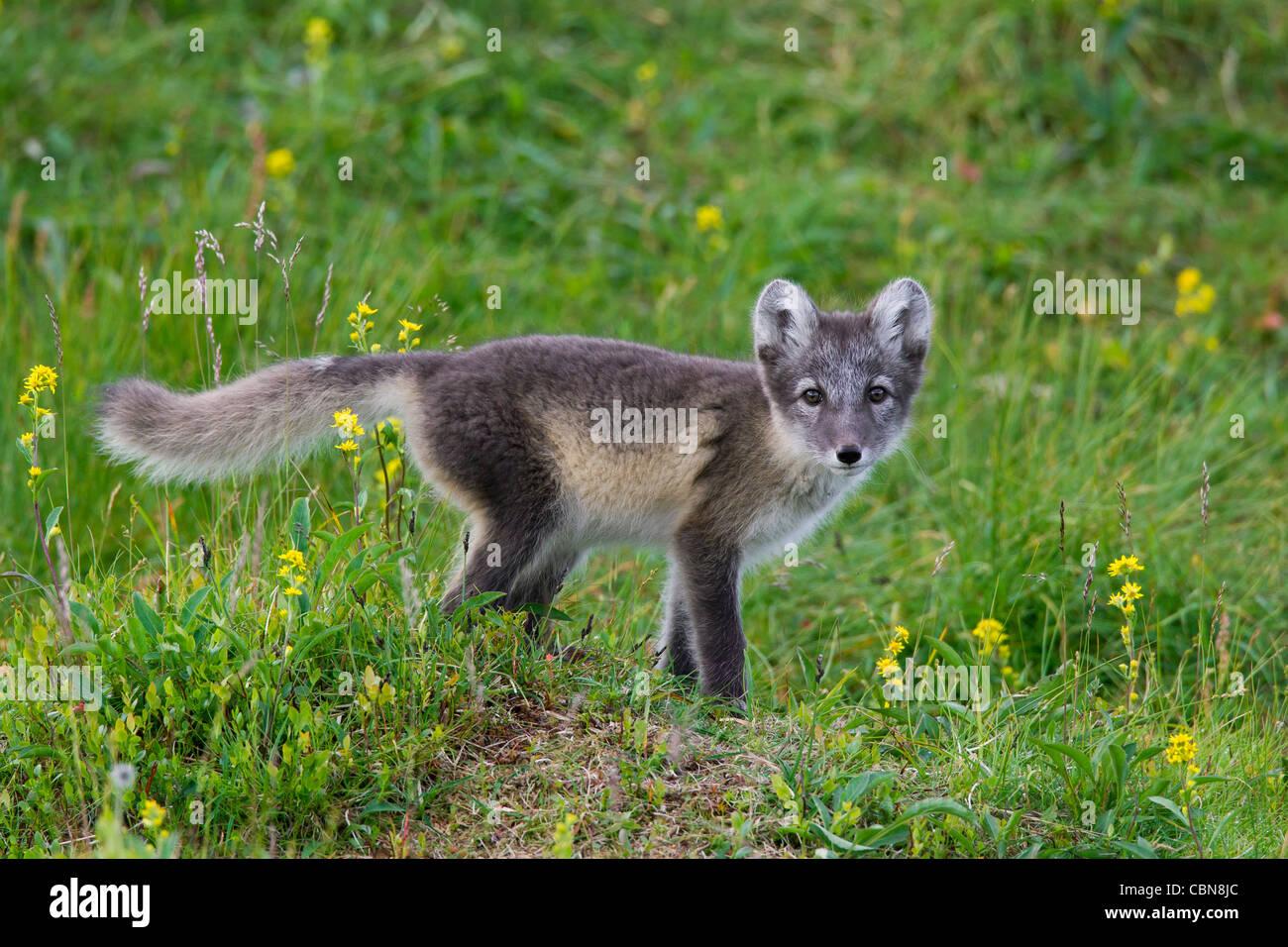 Tundra Arctic Fox In Summer Arctic fox (Vul...