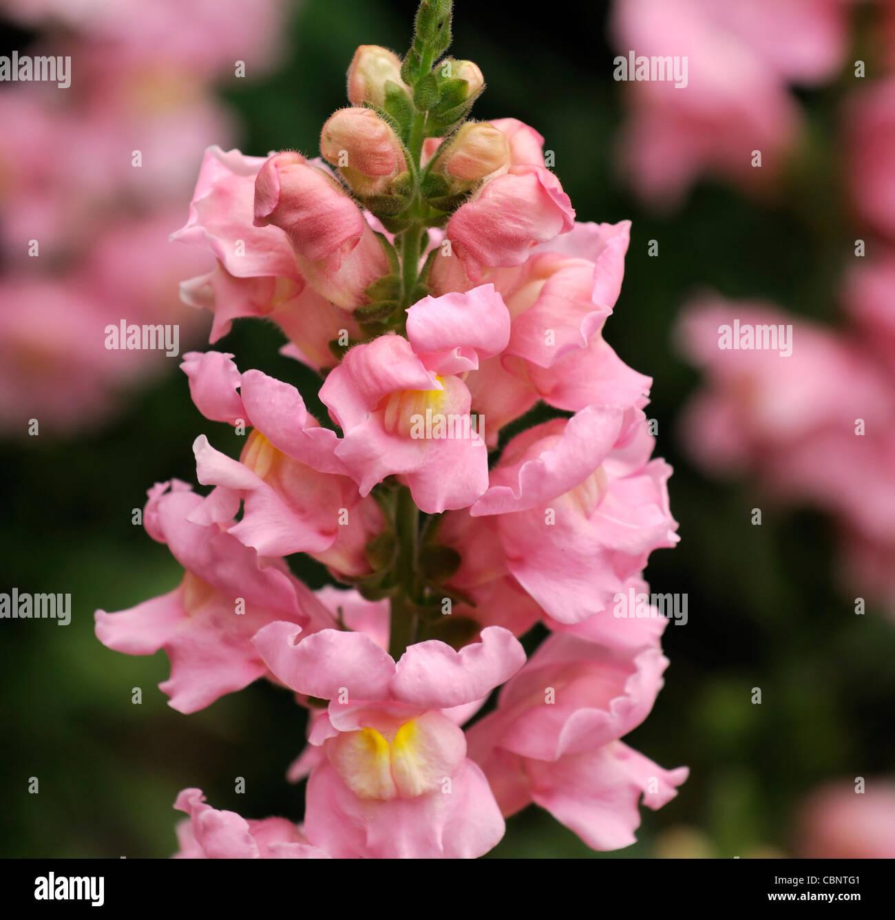 Antirrhinum majus 'Sonnet Pink' snapdragon snapdragons ...