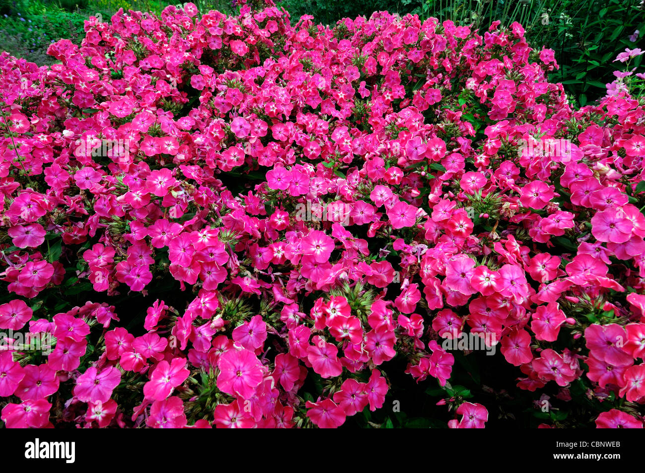 pink phlox paniculata perennial herbaceous plant flowers. Black Bedroom Furniture Sets. Home Design Ideas