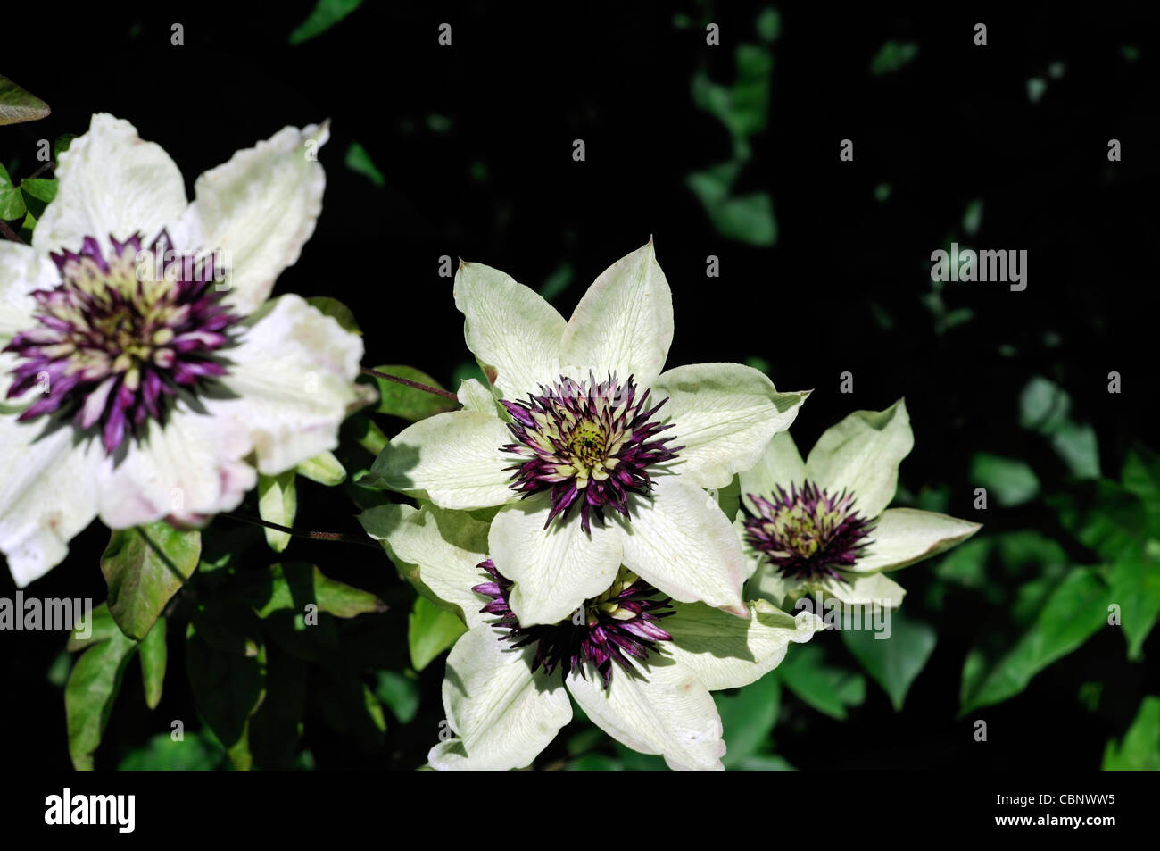 Clematis sieboldii florida purple white flowers fully double clematis sieboldii florida purple white flowers fully double climber climbing plant perennial flower bloom blossom dhlflorist Image collections