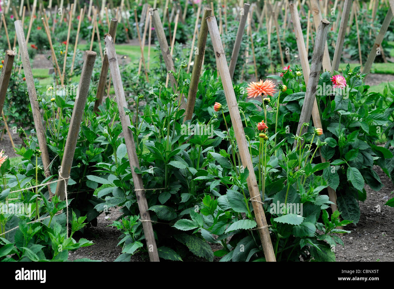 Dahlia dahlias perennials wood wooden stake stakes staked for Perennial wood