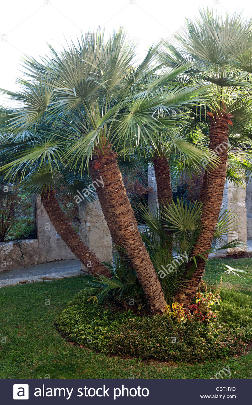 multi trunked chamaerops humilis mediterranean fan palm in the stock photo royalty free image. Black Bedroom Furniture Sets. Home Design Ideas