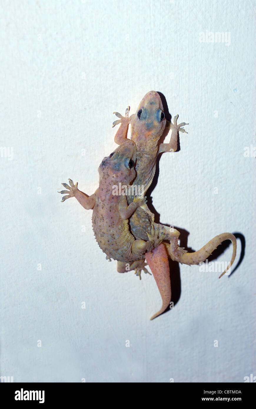 wall lizard gecko stock photos u0026 wall lizard gecko stock images