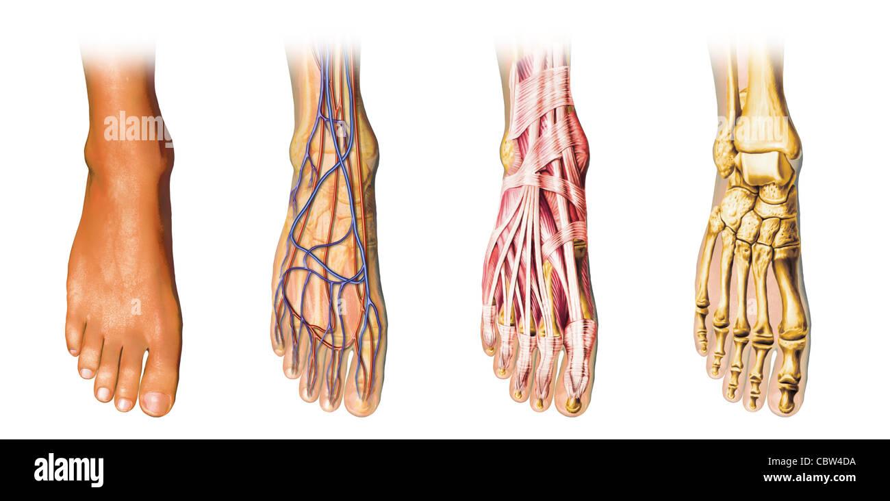 Human foot anatomy cutaway representation showing skin veins and human foot anatomy cutaway representation showing skin veins and arterias muscles bones pooptronica