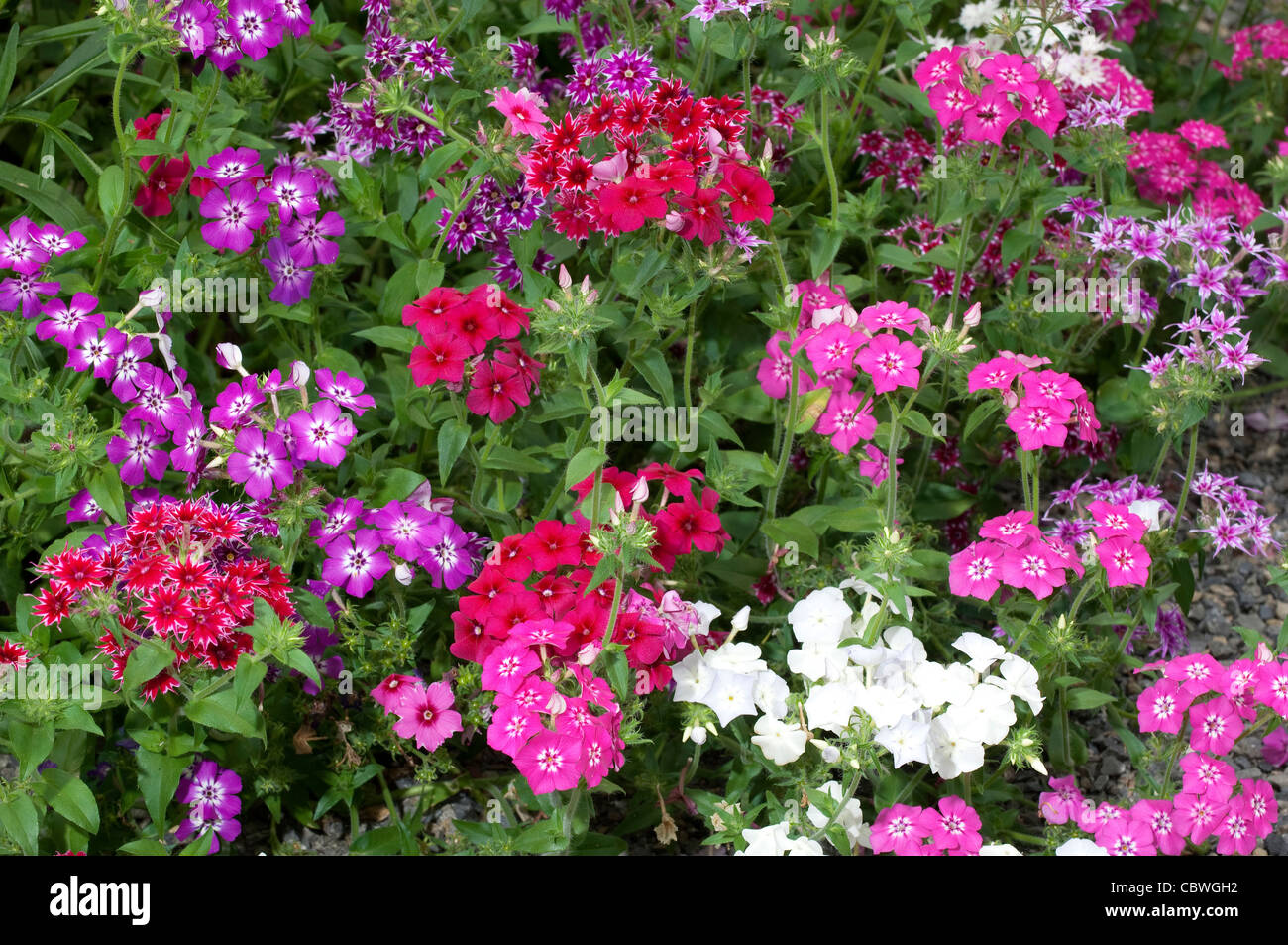 annual phlox phlox drummondii flowering stock photo royalty free image 41743774 alamy. Black Bedroom Furniture Sets. Home Design Ideas