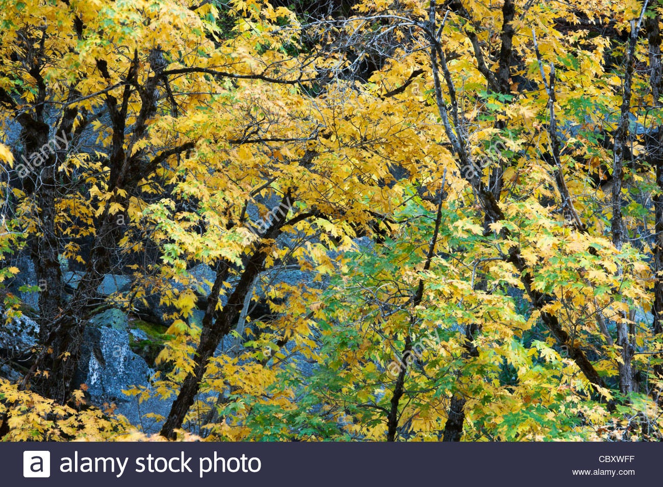 Maple Trees Fall Color Along Merced River, Yosemite National Park ...