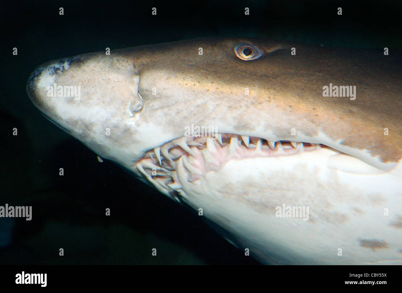 Sand tiger shark information amp pictures of sand tiger sharks - Portrait Sand Tiger Shark Grey Nurse Shark Spotted Ragged Tooth Shark Or