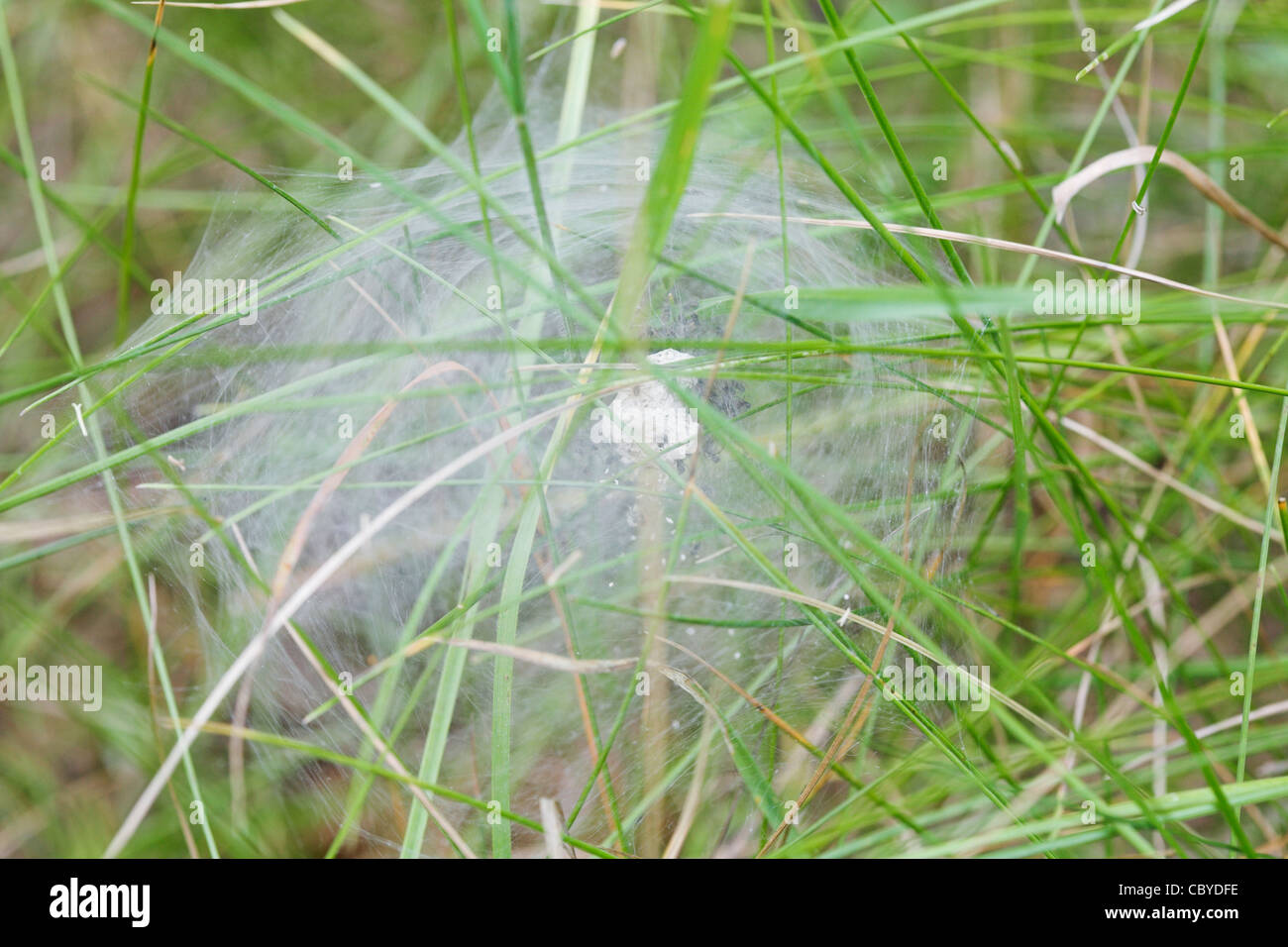 Silk tent of Nursery-web spider (Pisaura mirabilis) with spiderlings inside for protection & Silk tent of Nursery-web spider (Pisaura mirabilis) with ...