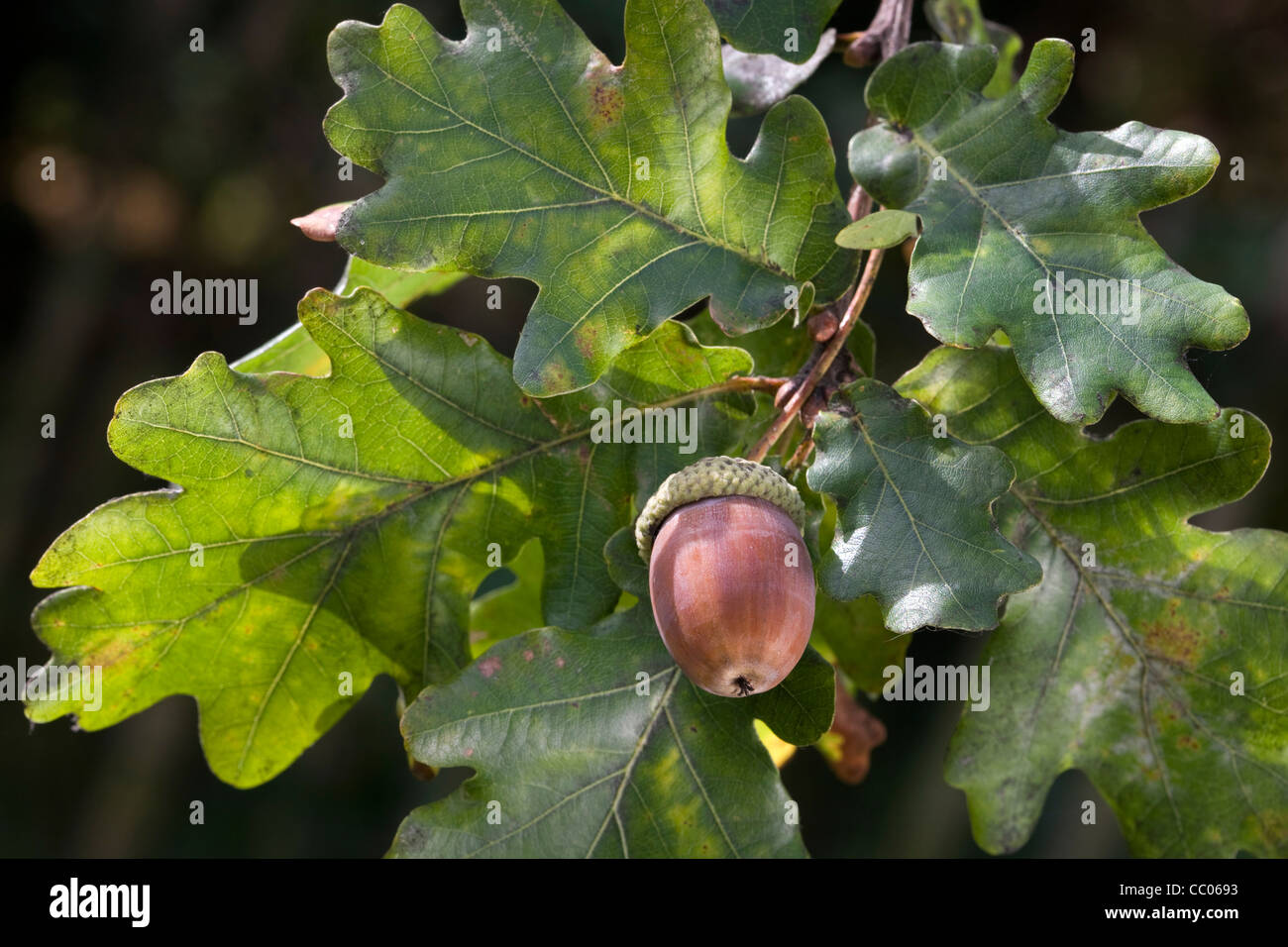 acorns and leaves of english oak pedunculate oak tree quercus