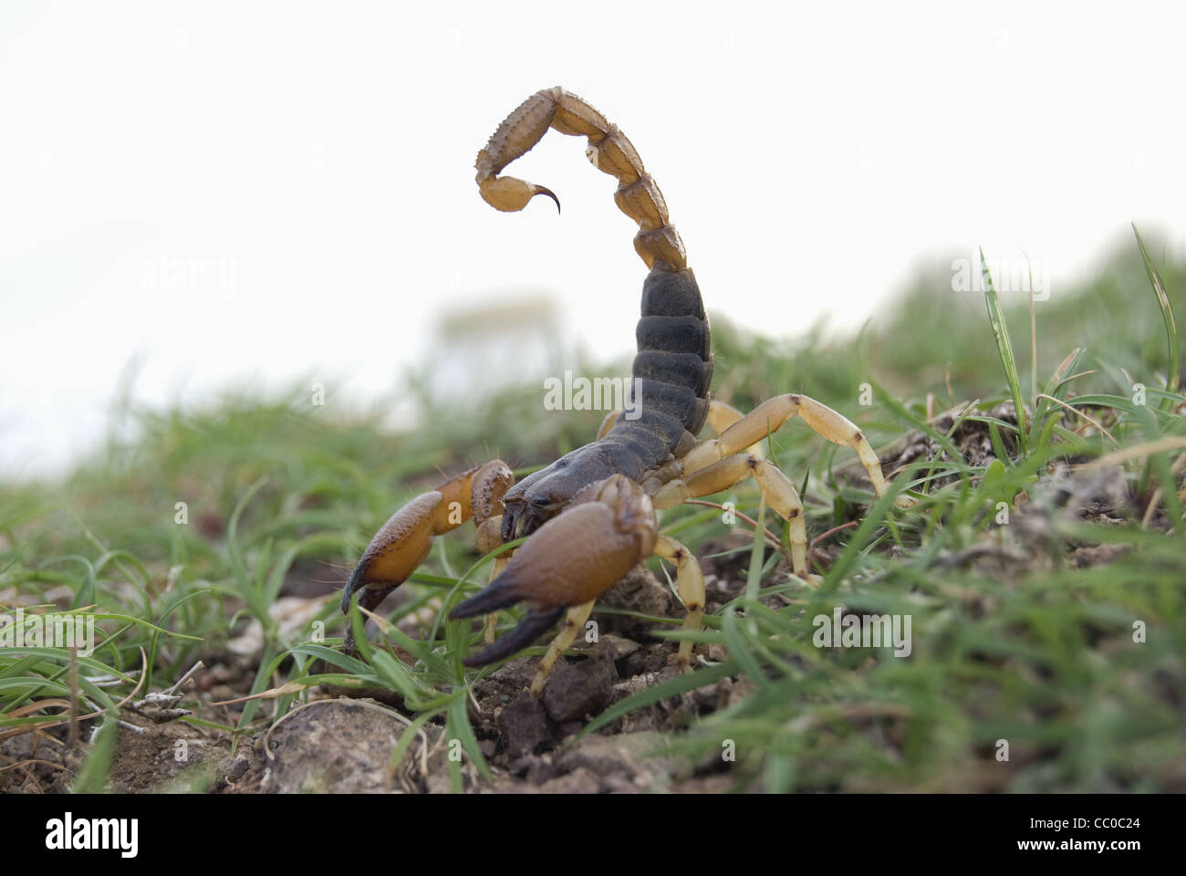 Indian red scorpion, BUTHIDAE, Hottentotta tamulus. Common ... - photo#1