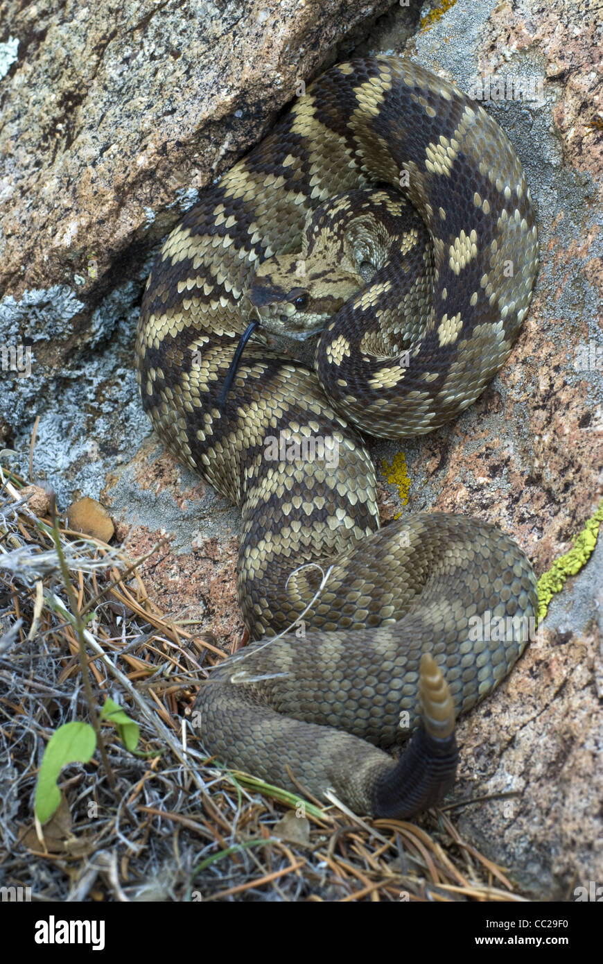 New mexico socorro county magdalena - Northern Blacktailed Rattlesnake Crotalus Molussus Molussus Magdalena Mountains Socorro County New Mexico Usa