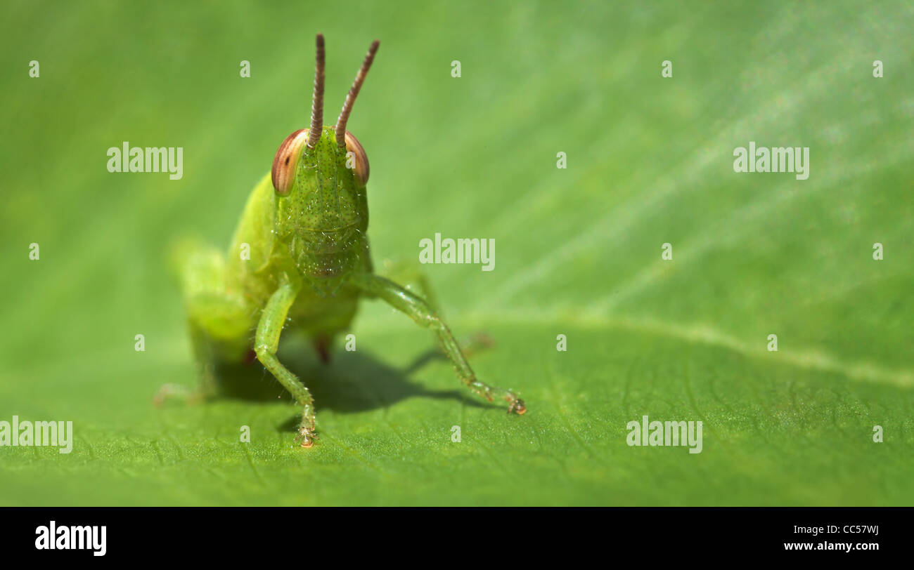 Small green funny grasshopper sitting on a green leaf - business ...