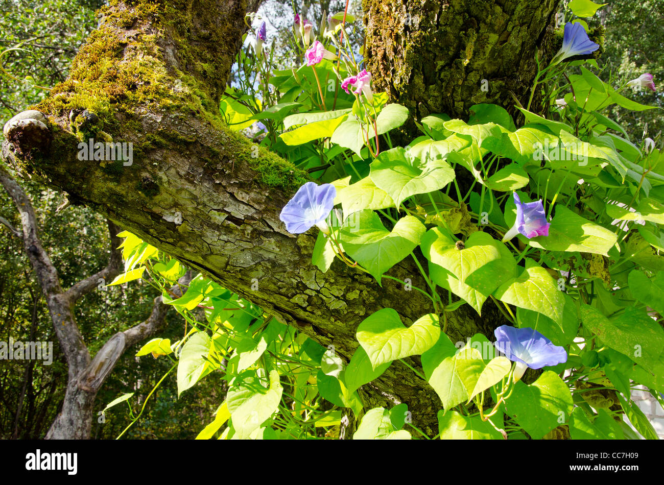 Blooming clematis flower creeper growing on an old apple - Flowers that grow on tree trunks ...