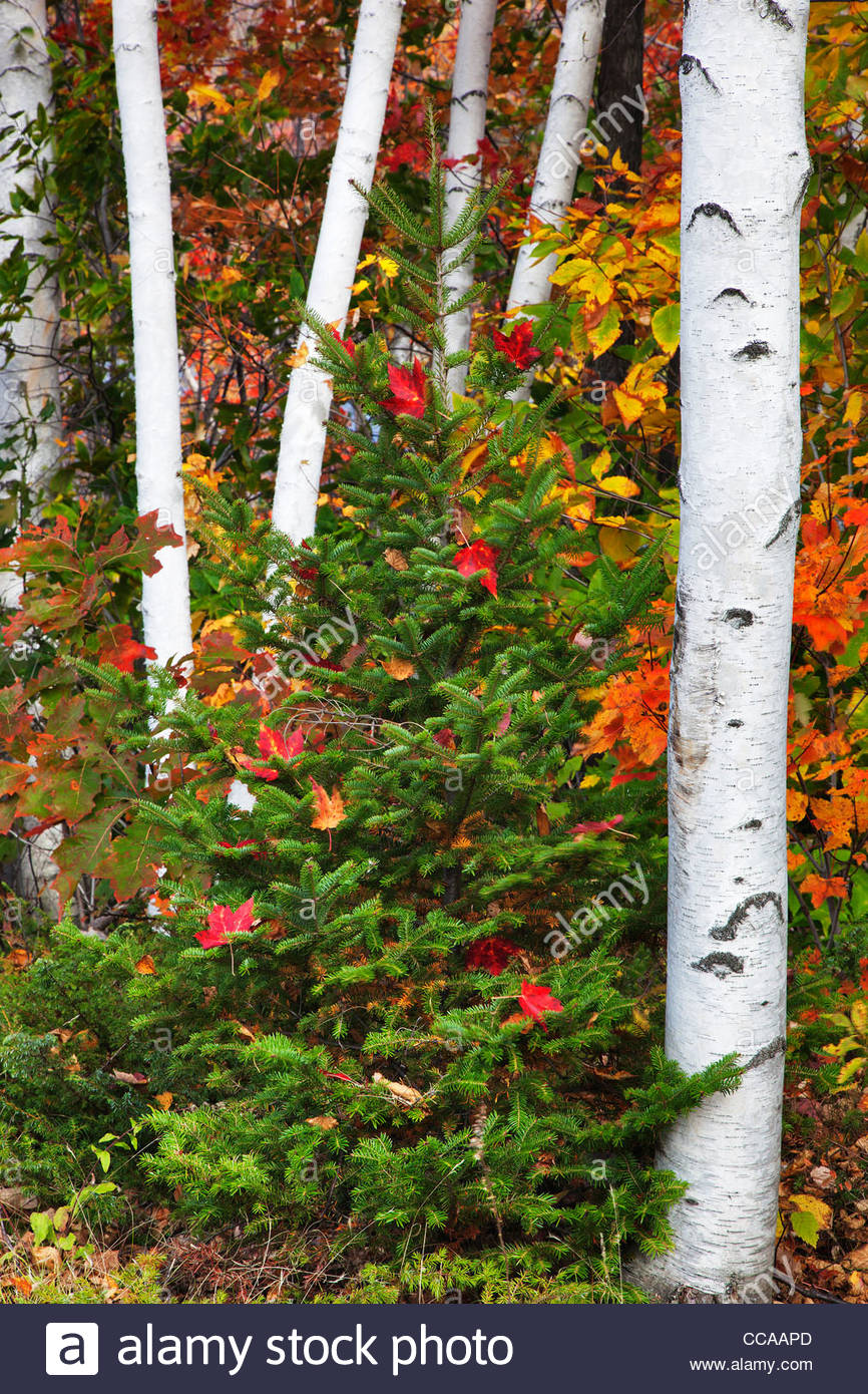 White brirch trees and autumn color in New Hampshire Stock Photo ...