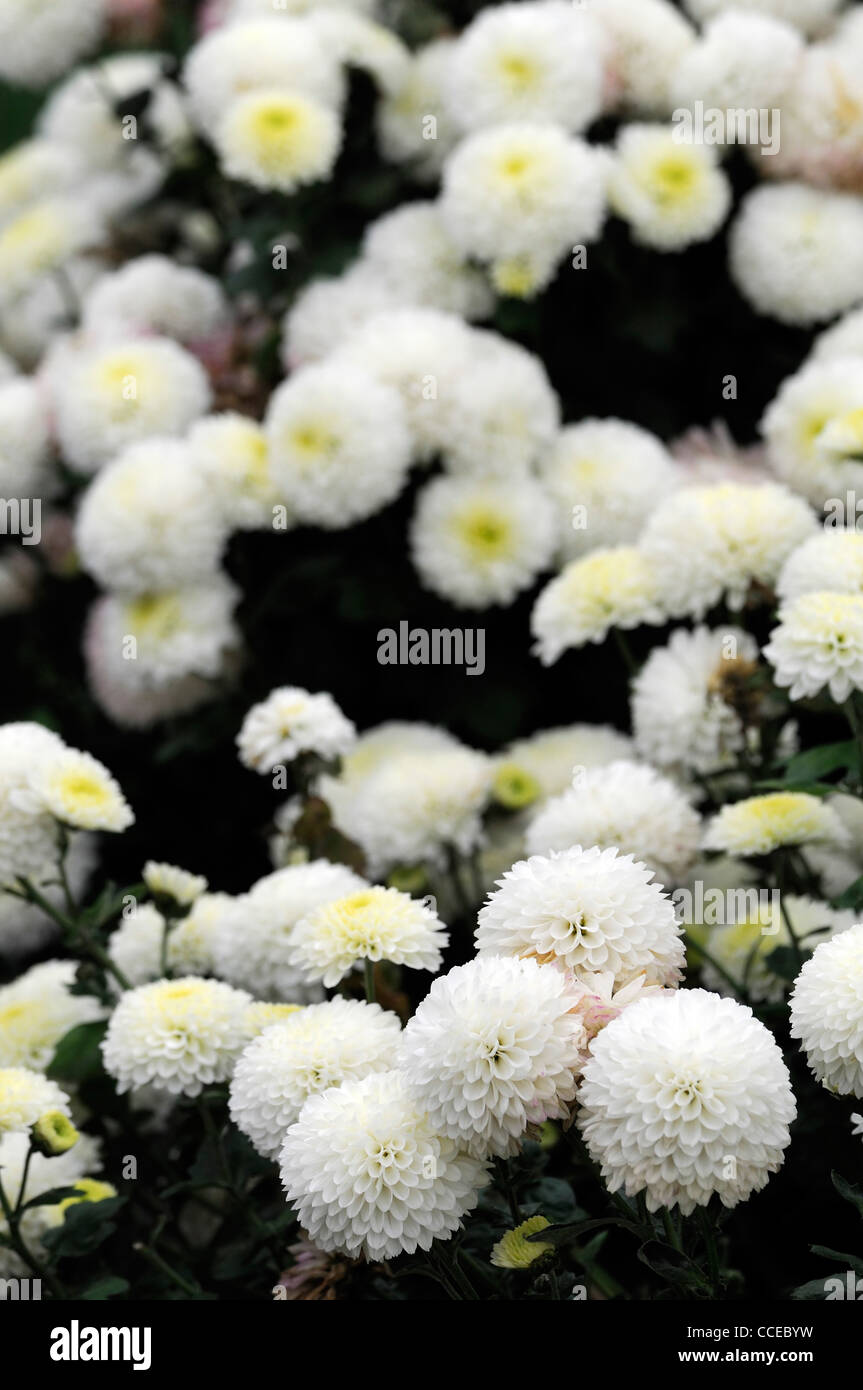Chrysanthemum cameo white flowers blooms blossoms half hardy stock chrysanthemum cameo white flowers blooms blossoms half hardy perennial herbaceous plant flower bloom blossom flowers stock dhlflorist Image collections