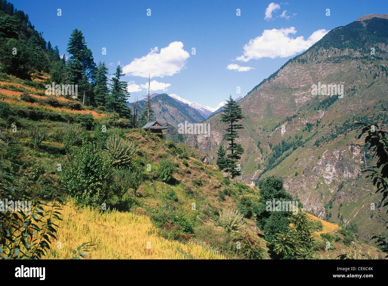 landscape mountains trees. landscape mountains green pine trees blue sky white clouds sangla valley himachal pradesh india d