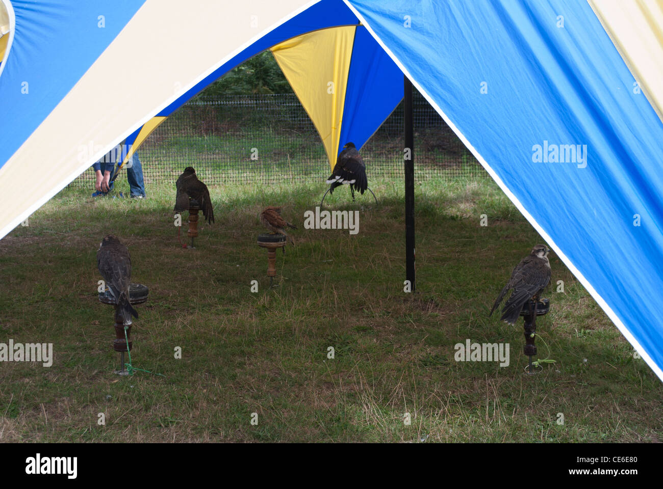 Falconry birds including Harris Hawk and Peregrine Falcon under tent / plastic shelter & Falconry birds including Harris Hawk and Peregrine Falcon under ...