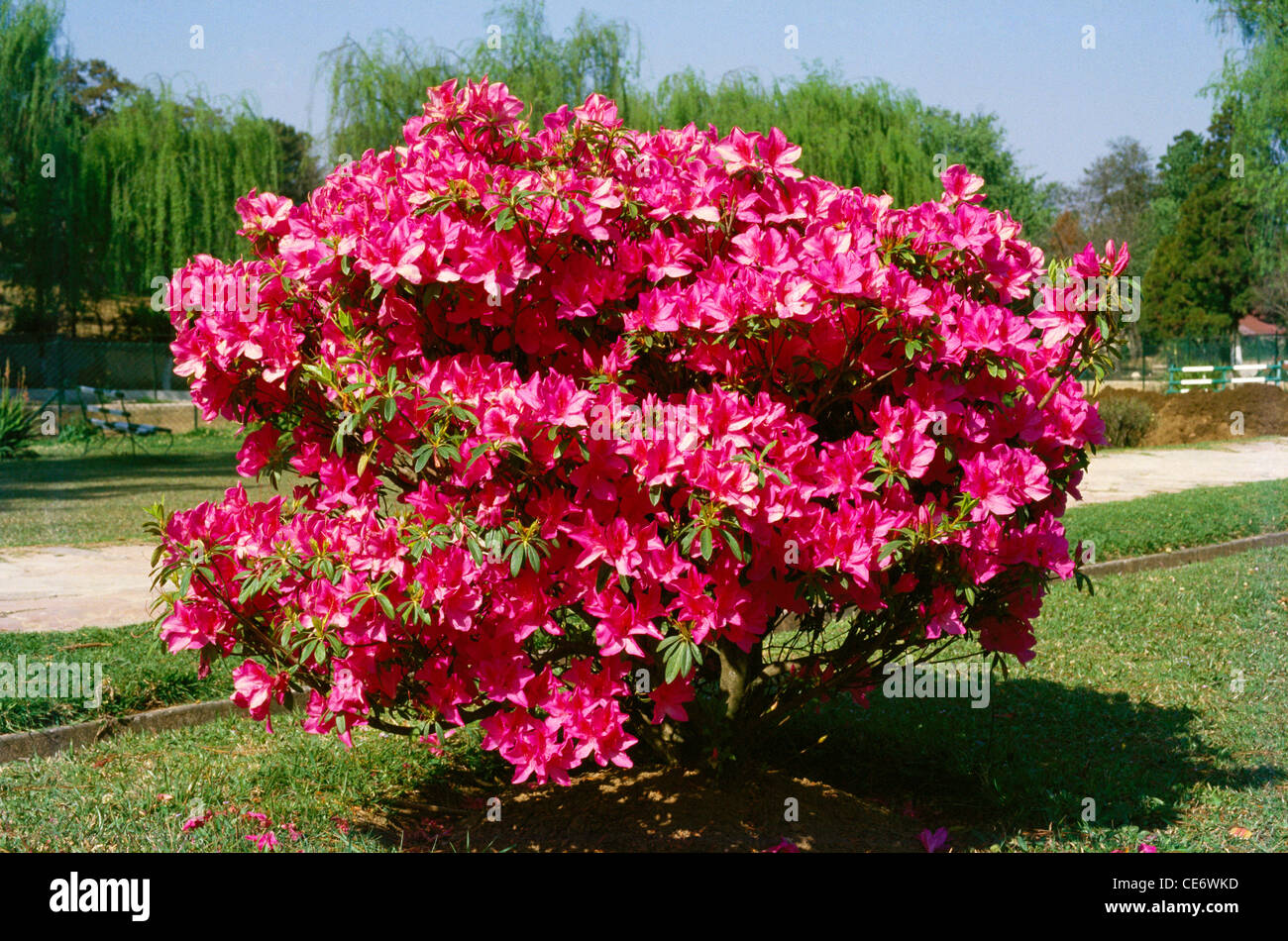 blossem tree