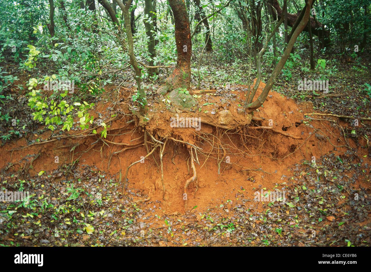 Mbt 86378 ecology soil erosion tree roots cross section for Soil erosion in hindi