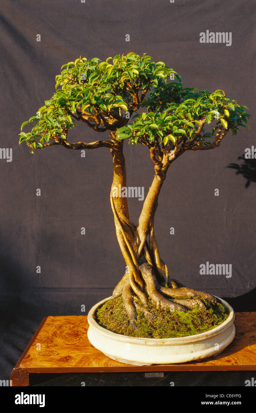 bonsai tree ficus benjamina twin trunk style twelve year. Black Bedroom Furniture Sets. Home Design Ideas