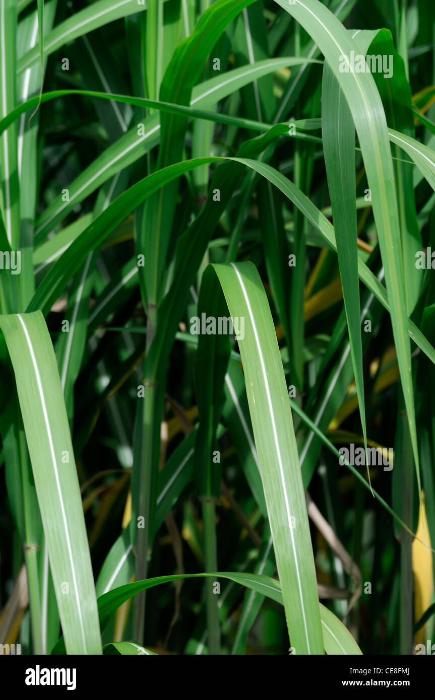 Miscanthus sacchariflorus amur silver grass silver banner for Hardy ornamental grasses