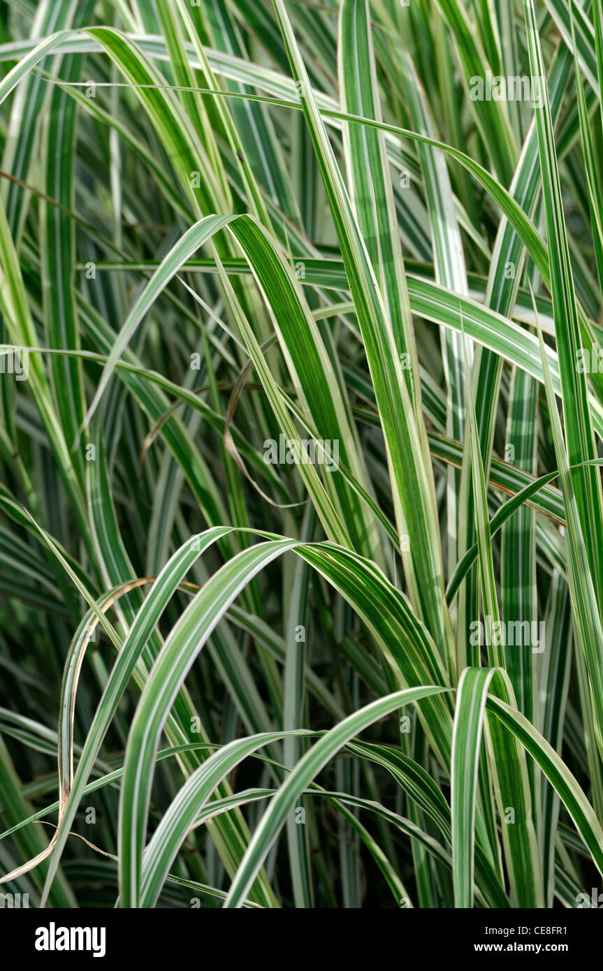 Miscanthus sinensis dixieland plant portraits green white for White ornamental grass