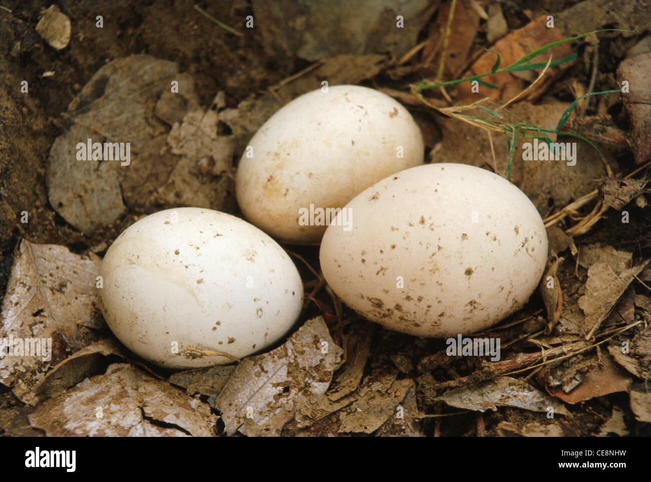 Birds Eggs Peacock Stock Photo, Royalty Free Image ...