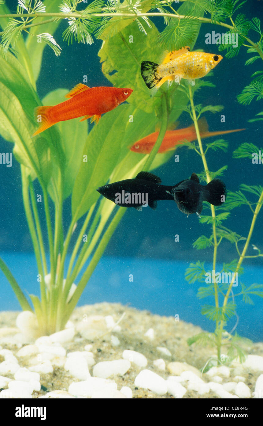 Black and yellow freshwater aquarium fish - Cho 80535 Black Yellow And Gold Fishes In Aquarium Fish Tank