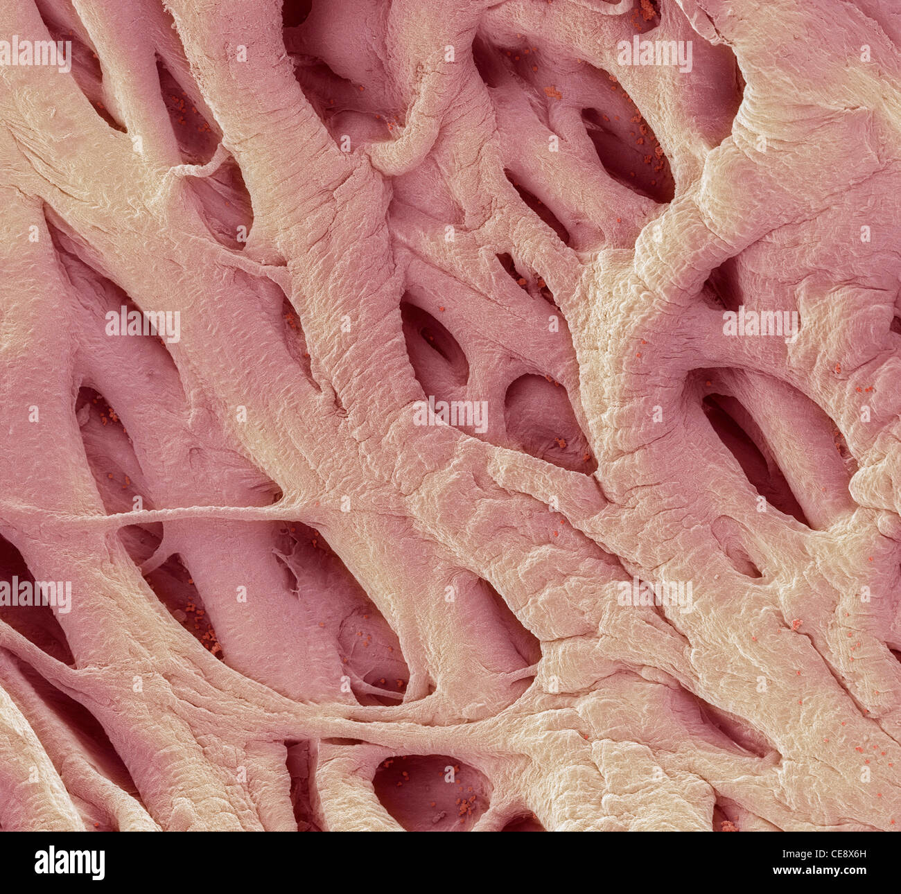 heart strings coloured scanning electron micrograph sem heart, Human Body