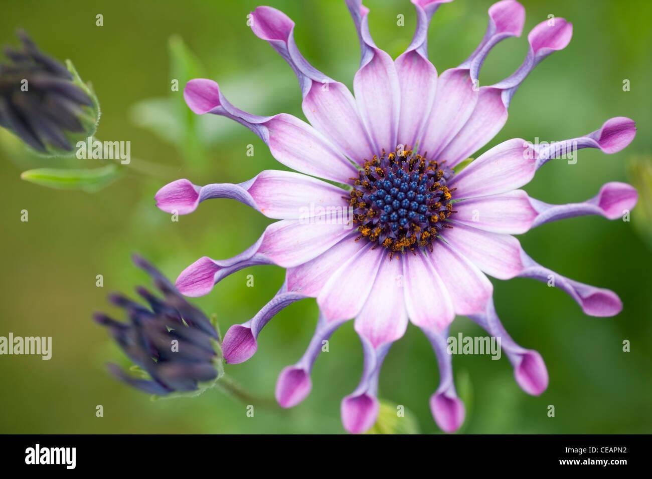 garden flowers uk serenity osteospermum pink p or. Black Bedroom Furniture Sets. Home Design Ideas