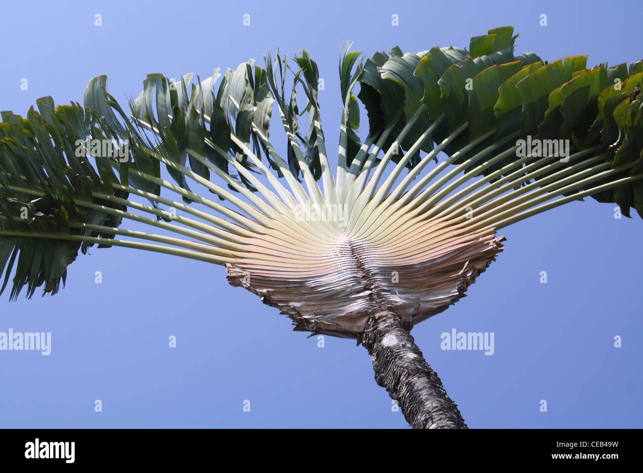 fan palm trees. fan palm tree blue sky hawaii trees