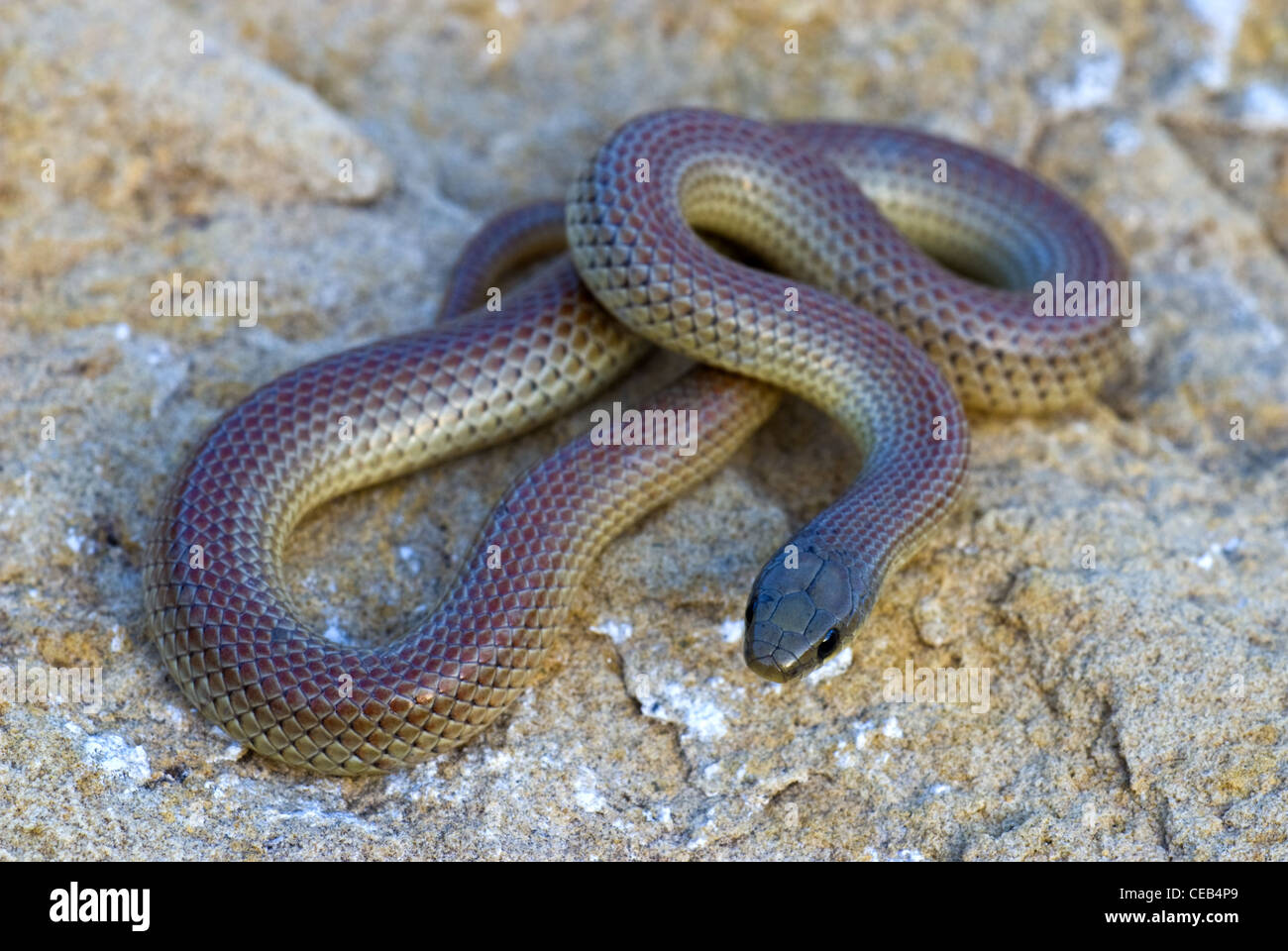 New mexico eddy county - Ground Snake Sonora Semiannulata Sitting Bull Falls Guadalupe Mountains Eddy