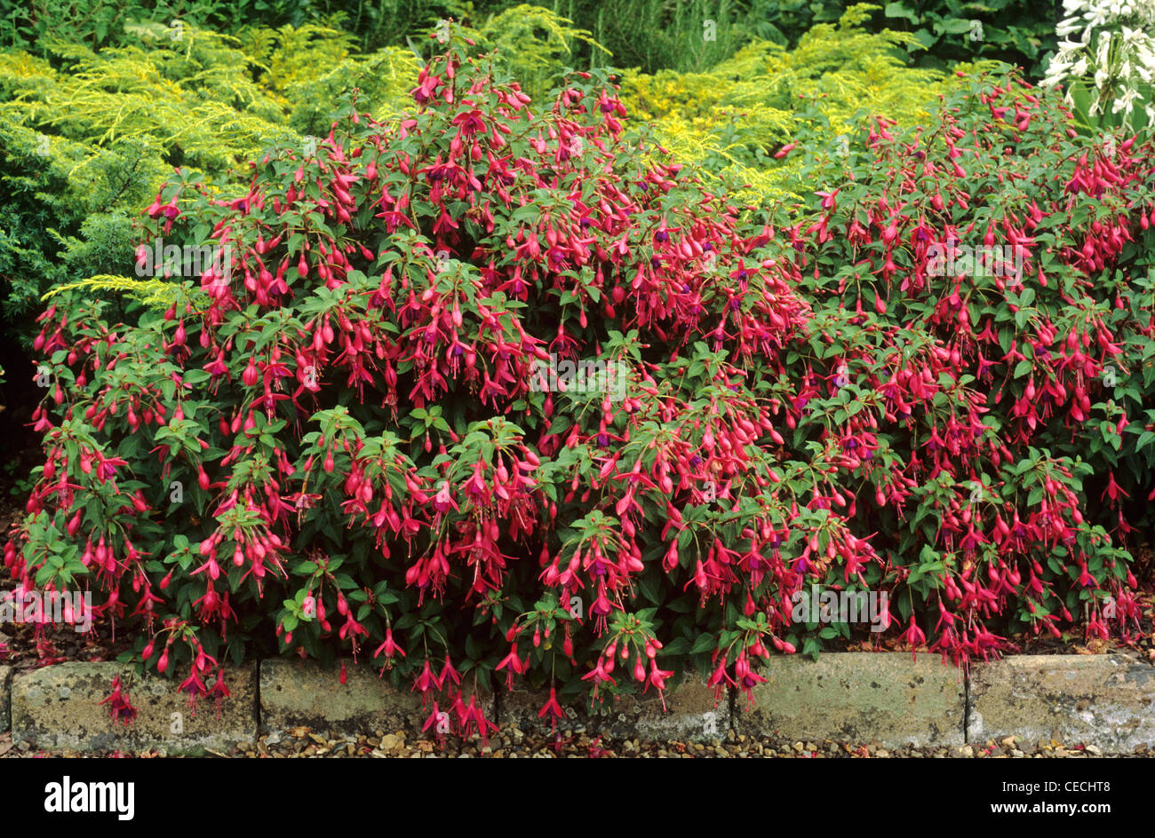 Fuchsia U0027Tom Thumbu0027, Border Edge Red Flower Flowers Fuchsias Garden Plant  Plants