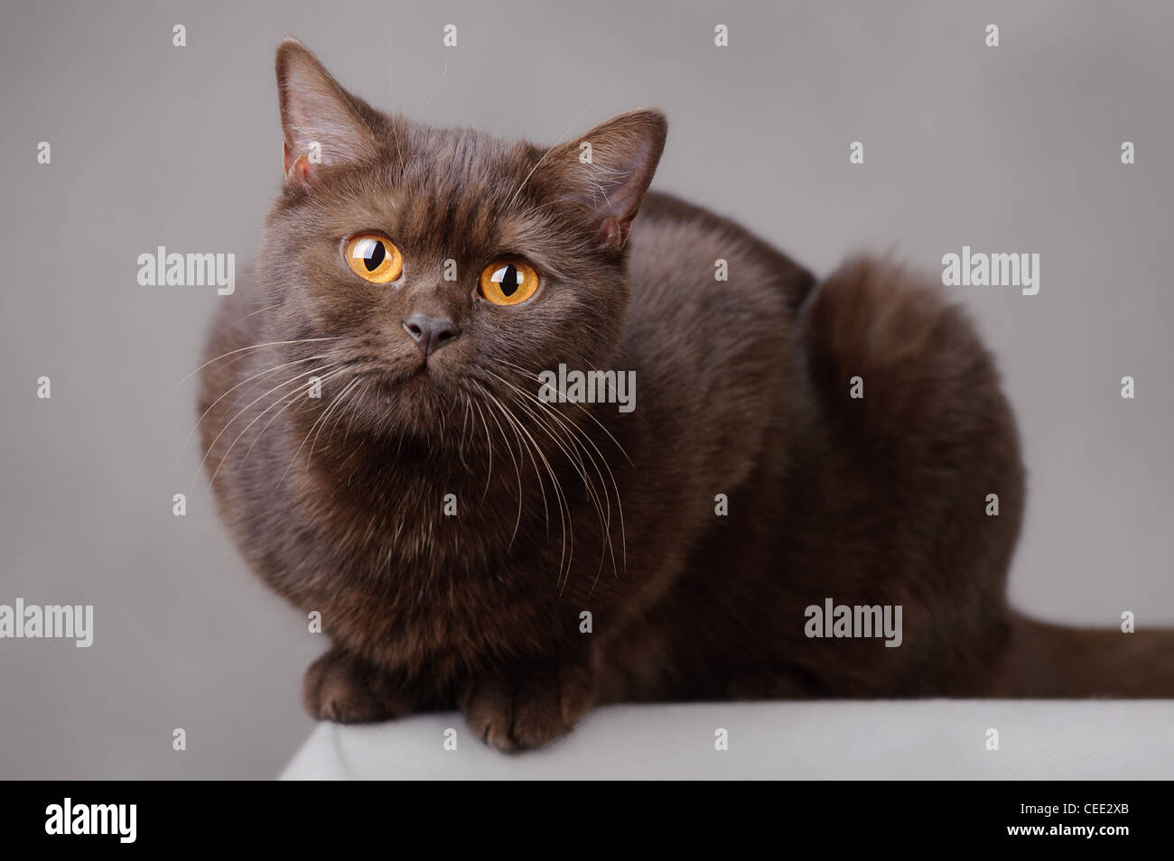 Chocolate British Shorthair Domestic Cat, Male Stock Photo ...