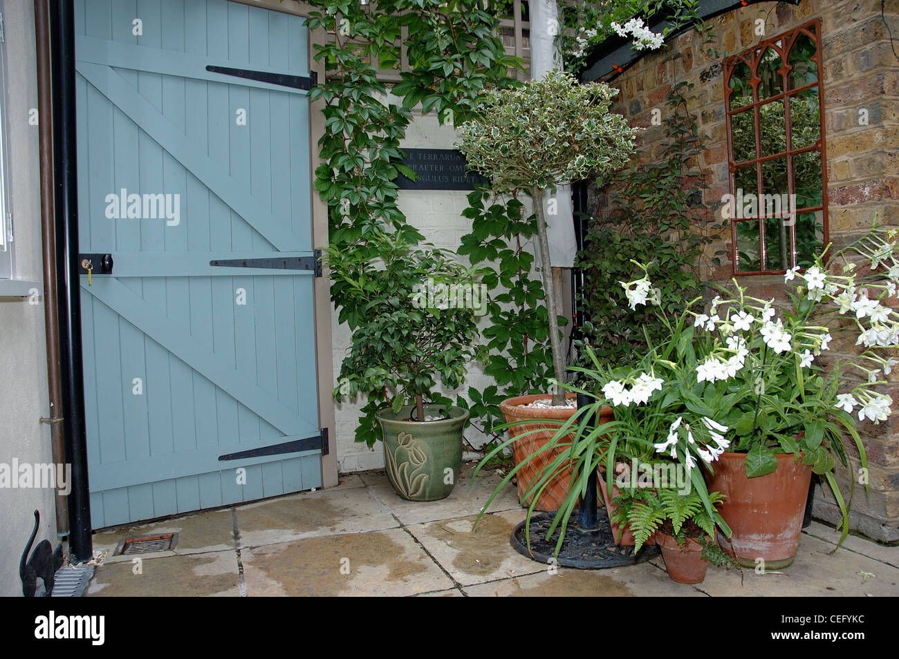 White nicotiana and olive tree in terracotta pots in small for Small trees for courtyard gardens