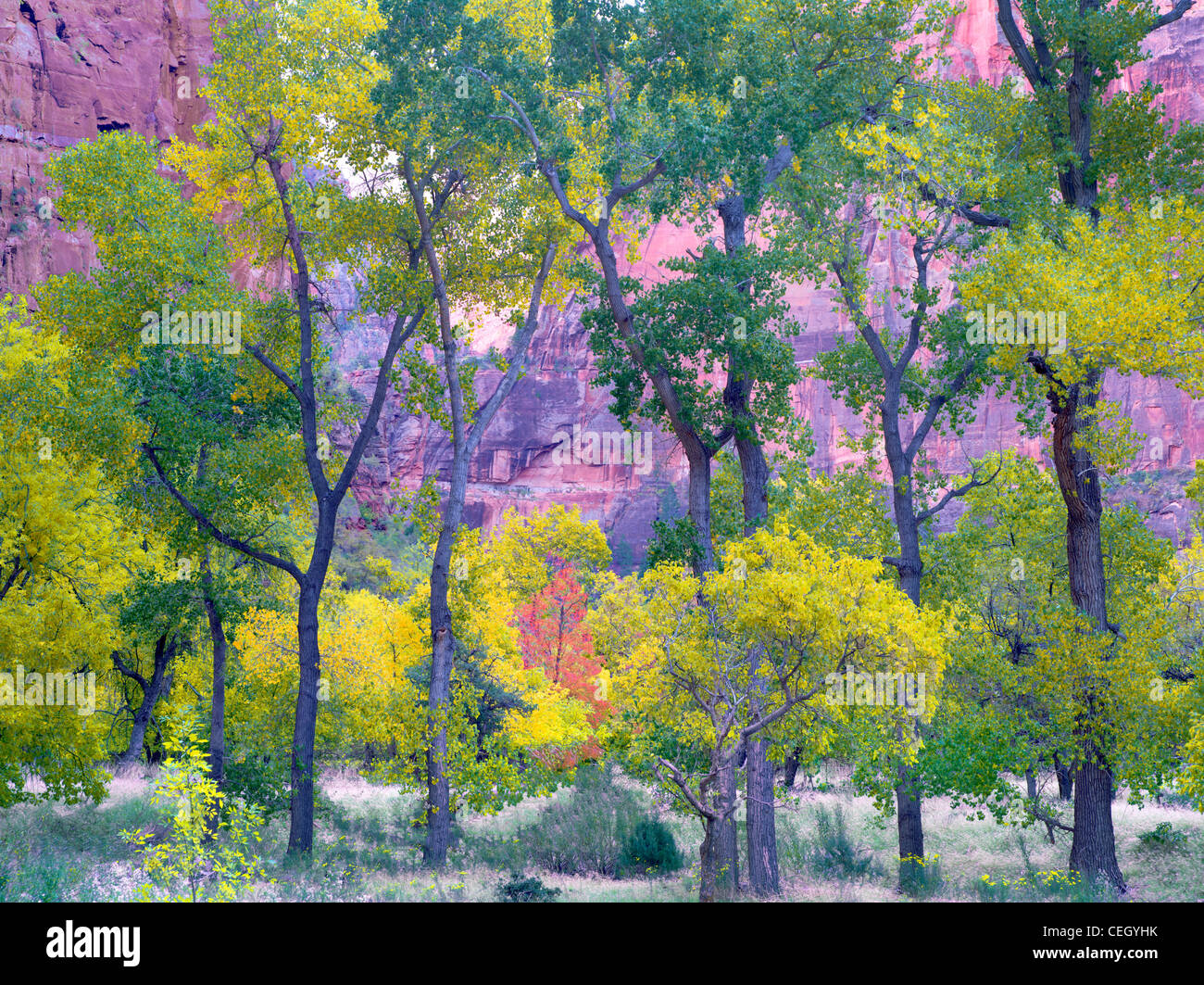 Fall colored trees. Zion National Park, Utah Stock Photo, Royalty ...