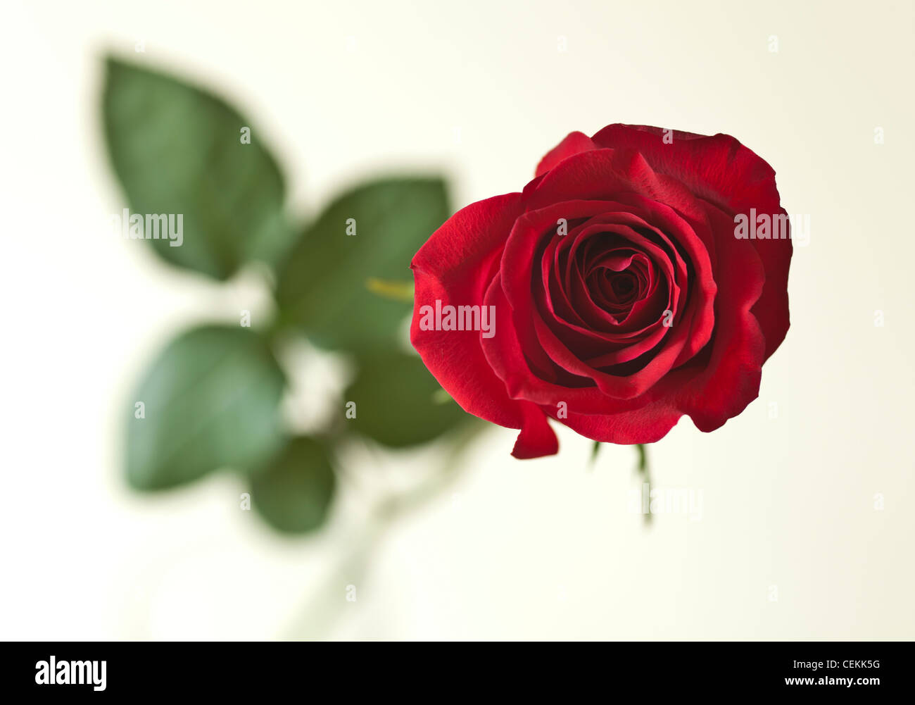 A single red rose a symbol of love stock photo royalty free a single red rose a symbol of love biocorpaavc Images