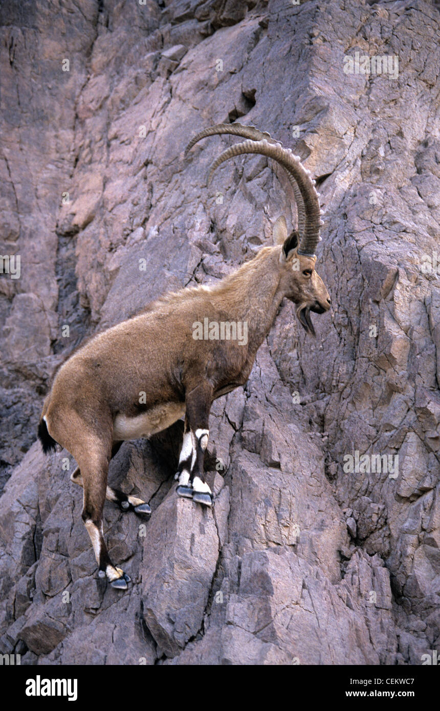 Ibex Goat ibex mountain g...