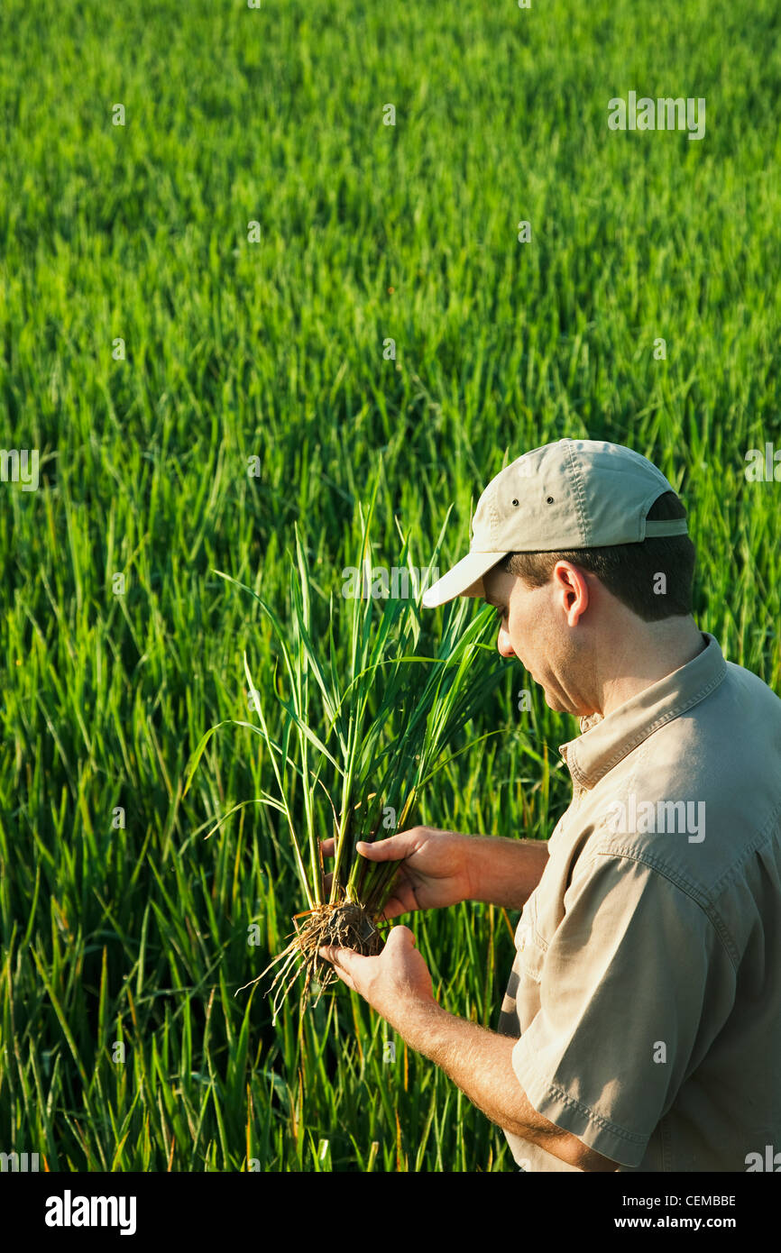 A Crop Consultant In The Field Inspects A