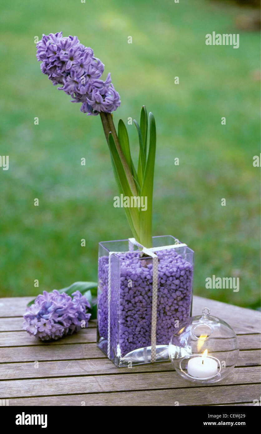 Blue hyacinths a blue hyacinth growing in a square glass vase blue hyacinths a blue hyacinth growing in a square glass vase filled purpley blue gravel next to a glass ball shaped candle reviewsmspy