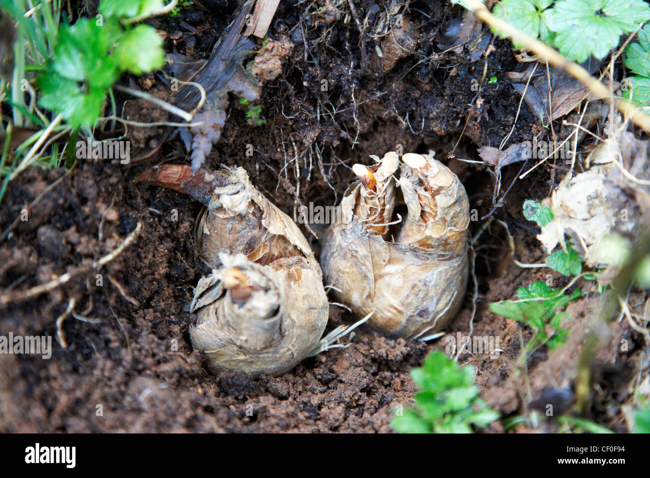 When how to plant daffodil bulbs - Stock Photo Planting Daffodil Flower Bulbs In A Garden In The Uk