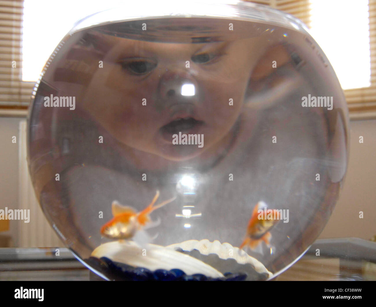 a-young-toddler-watching-goldfish-in-a-glass-bowl-her-face-is-distorted-CF38WW.jpg