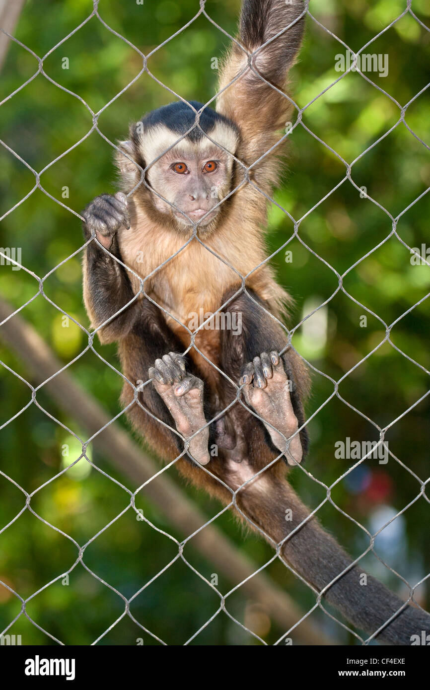 tufted capuchin monkey hanging onto wire in cage note captive