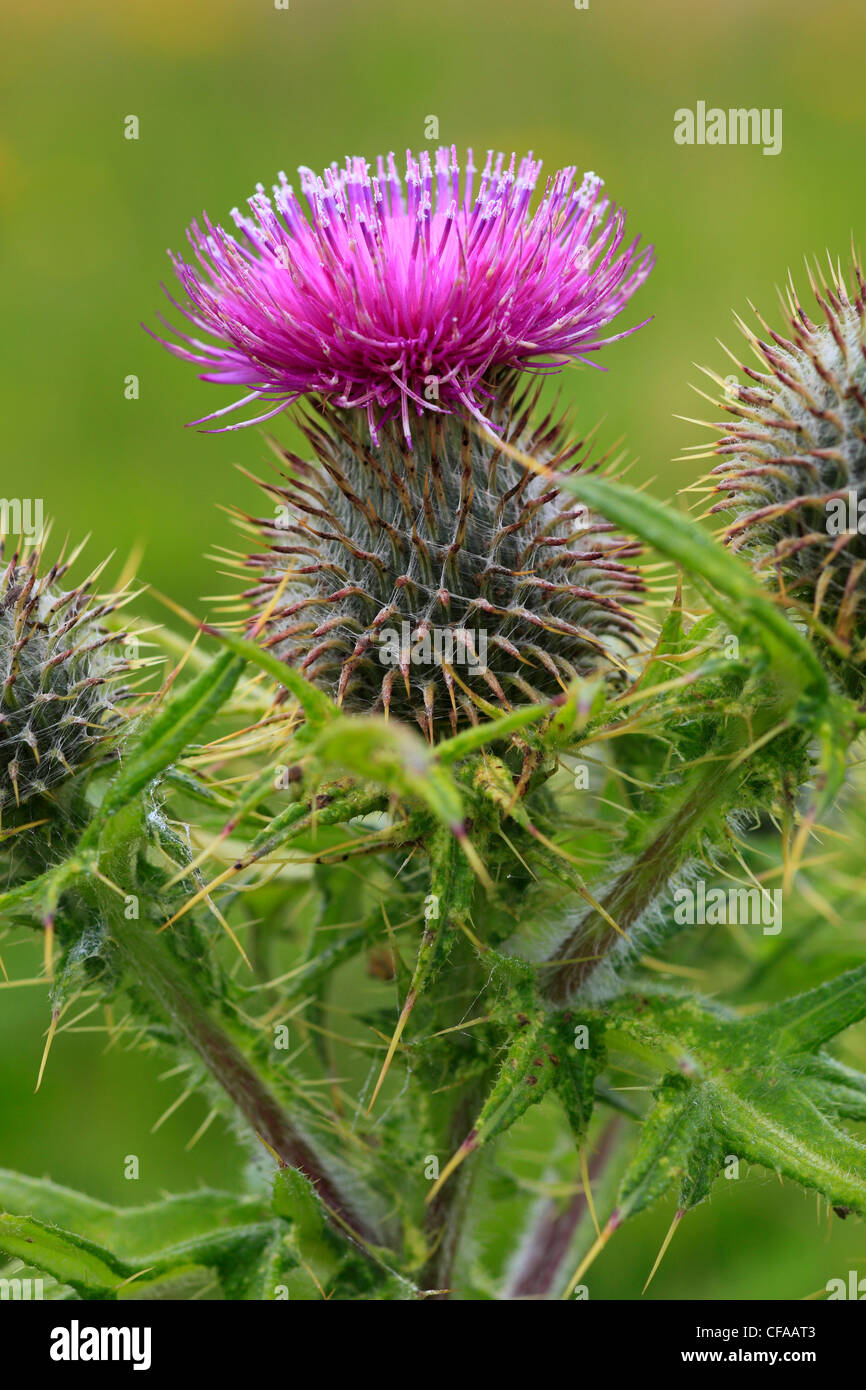 thistle thistle plant makto scotland scottish national flower
