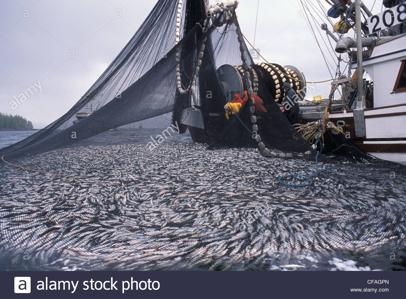 Commercial fishing boat pulling up net full of herring for What is commercial fishing