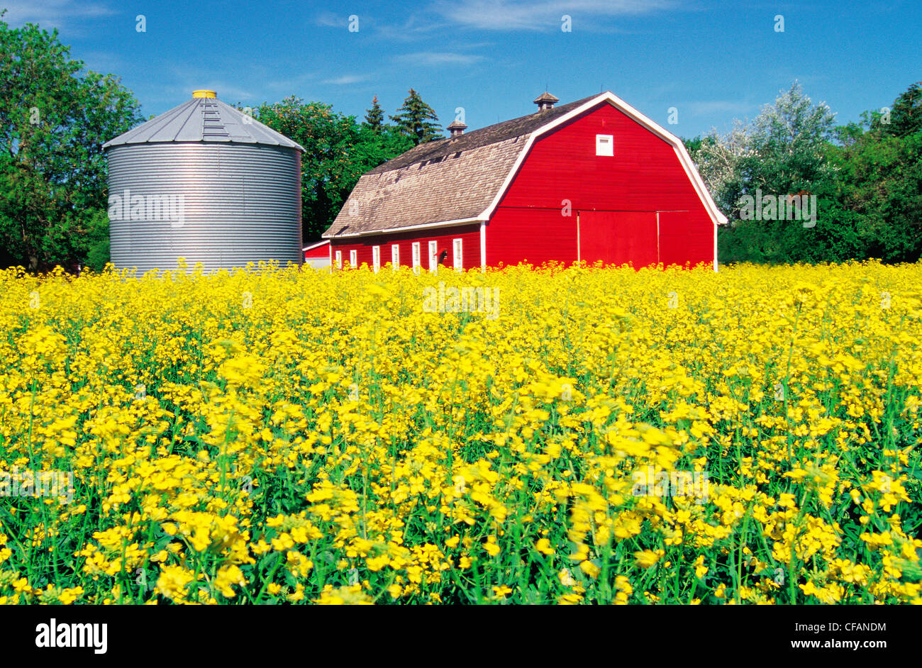 Red Barn Background blooming canola field with red barn and grain bin in the